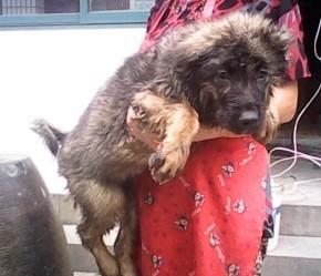 便宜出售几个小高加索犬,30斤左右,健康包的 宠物天地 黄岩论坛 图片